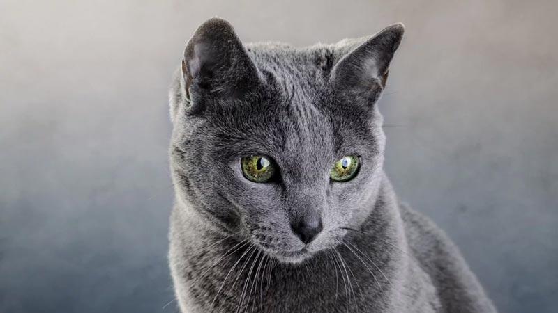 Gato azul russo